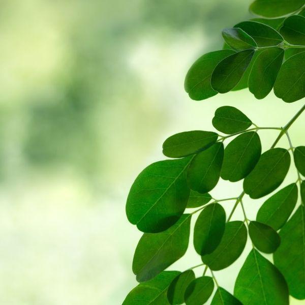 моринга листья