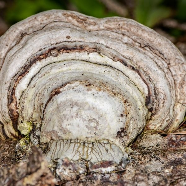 агарик гриб на дереве